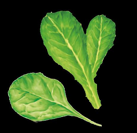 agroama-insalata-foglie