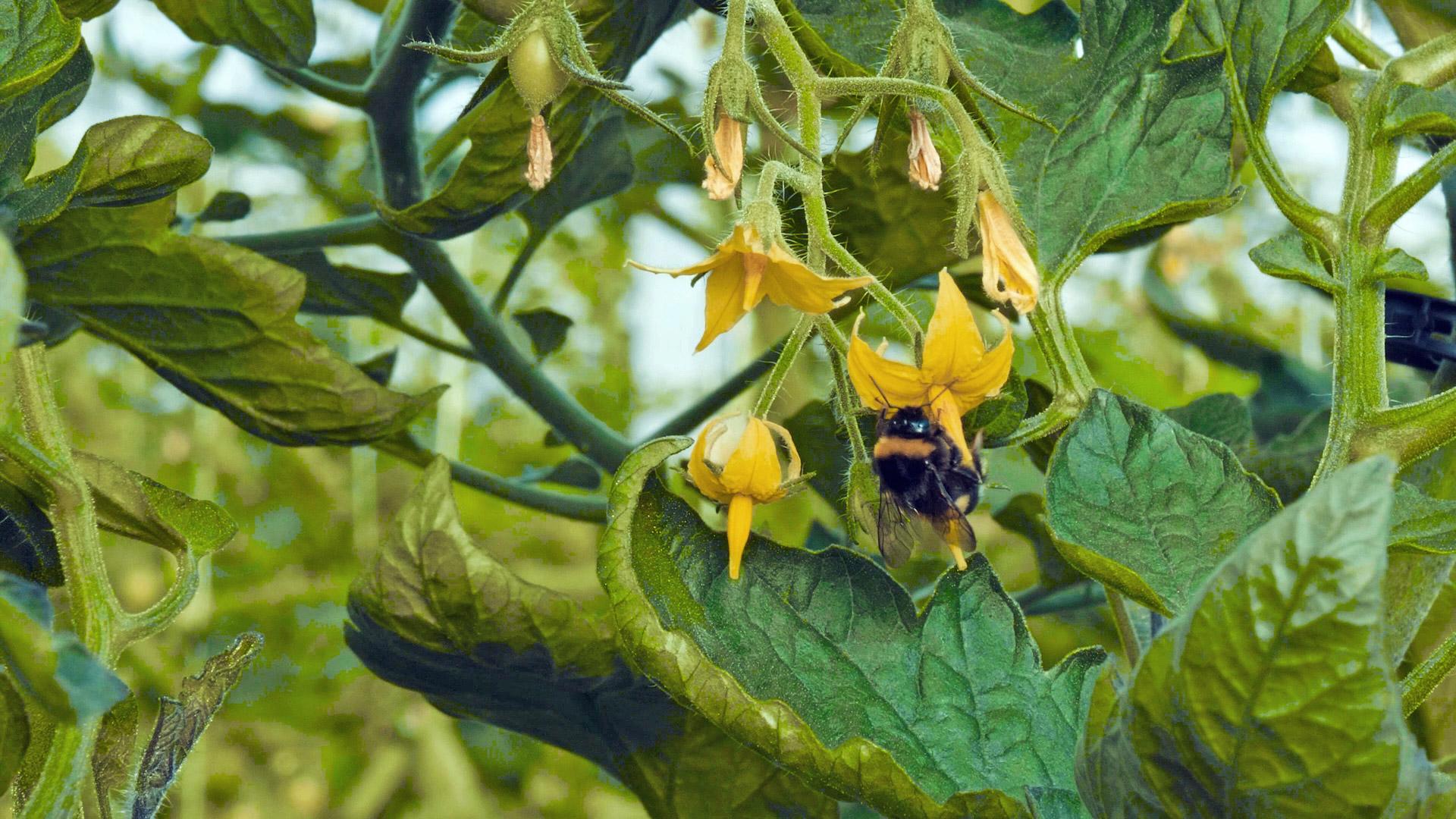 ape-su-fiore-di-pomodoro-giallo
